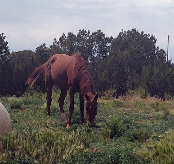 The same lighter brown horse from the last picture. He's got a small white diamond on his forehead & white socks on both rear hooves. He's got his head down & he's grazing, but his ears are pointed towards the camera.