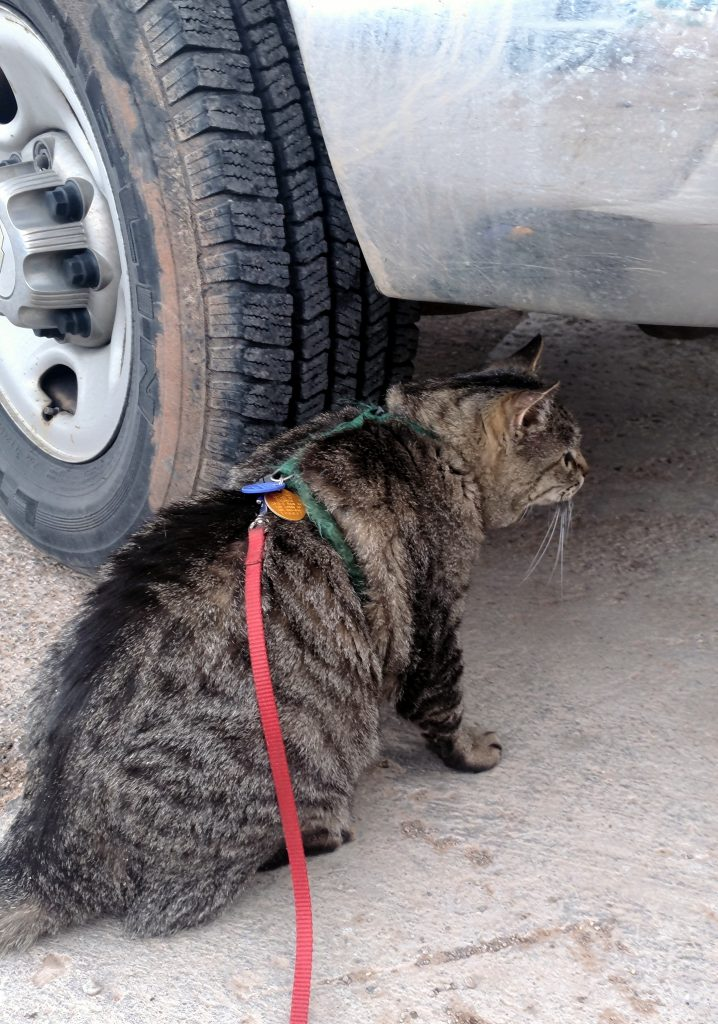 Major Tom, sitting next to a large vehicle tire & looking under the vehicle. His ears are forward but his head is down, showing that he's curious but wary.