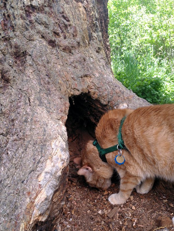 Loiosh, sniffing intently at a large hole in the base of a treetrunk.