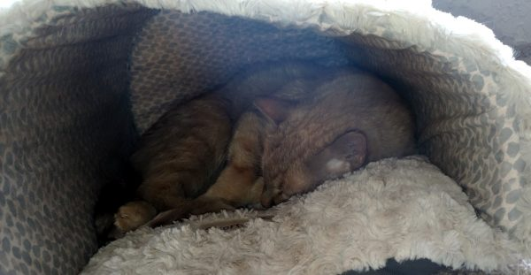 Loiosh, curled up into a tiny ball in the depths of a white fluffy cat cave.