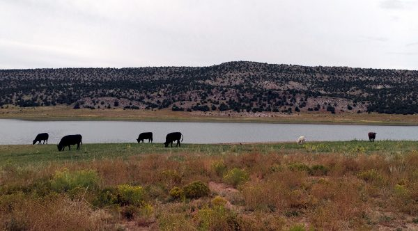 Six cows, mostly black ones, seen at a distance. They're grazing in the grass & low scrub. Behind them is an arm of the lake; behind that, low rolling hills rise to a cloudy sky.