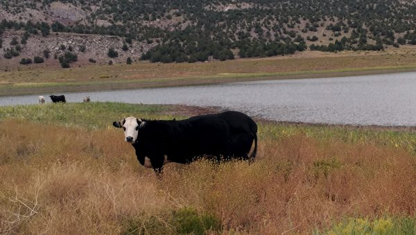 A solitary cow, black with a white face, gazes at the camera.