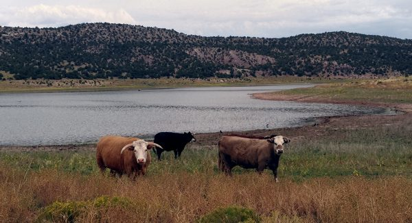 Three cows in a group. Two of them are like 'whatever' but the third, the one on the left, is staring right at the camera. He's brown with a white face. His horns are also white. They're pointed at the camera in, well, a pointed manner.