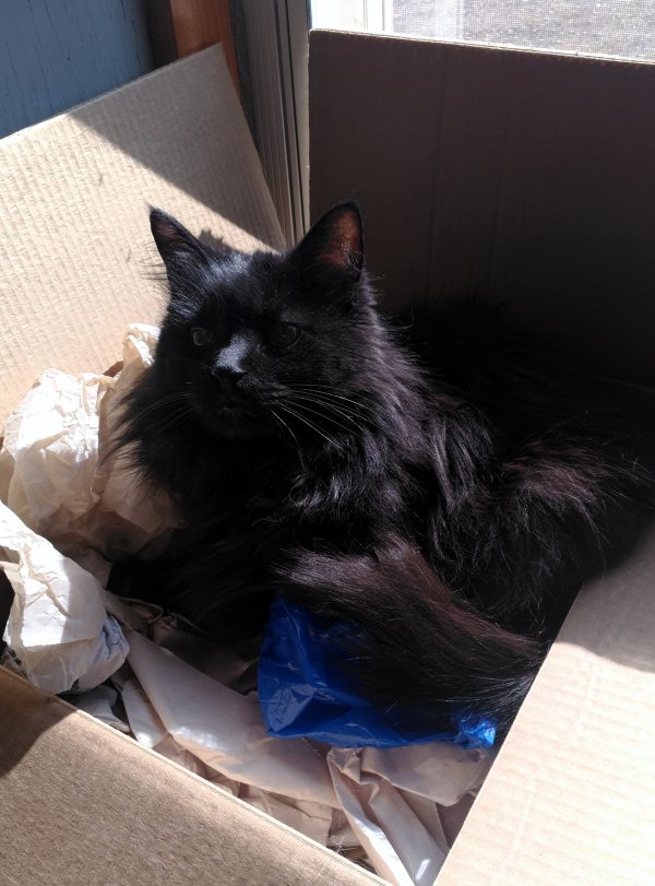Hades is curled up in a box which is spilling over with slightly shredded white packing paper. He is very smug.