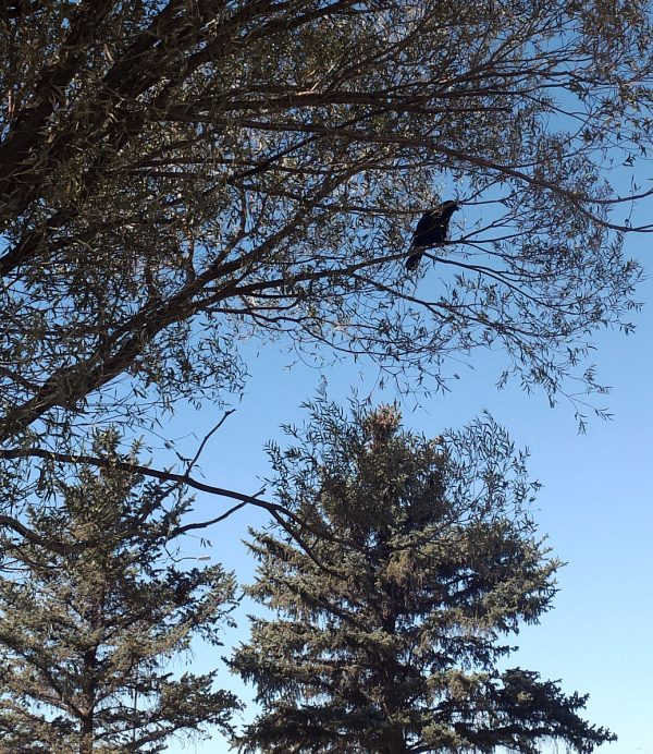 A rather large raven sitting on a branch.