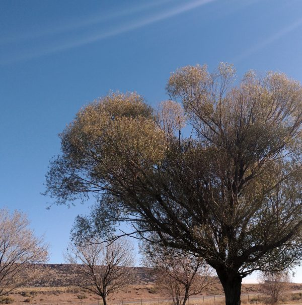 A spreading deciduous tree, most of whose leaves have turned brown, against a vividly blue sky.