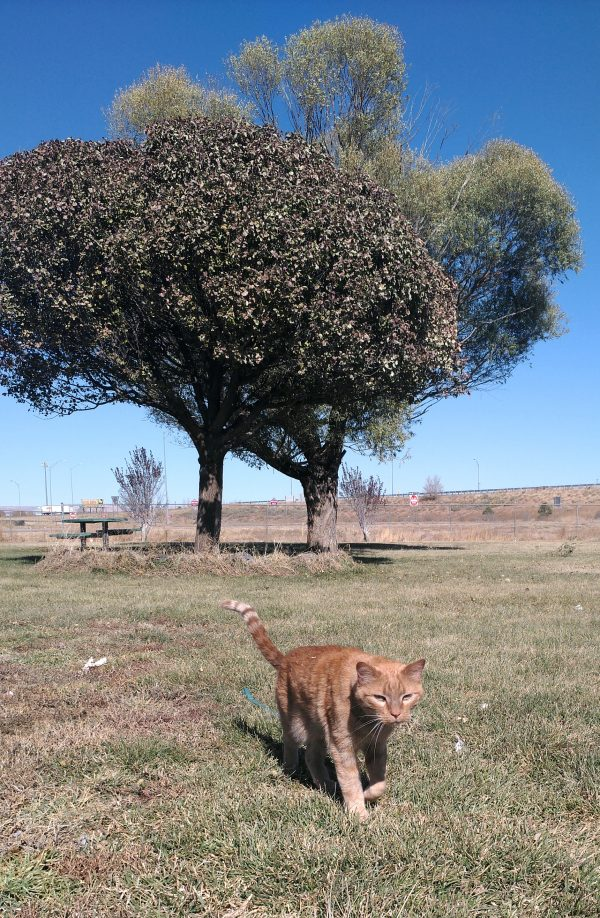 In the background, two trees against a deep blue sky; up front, Loiosh walks towards the viewer, tail just beginning to rise.