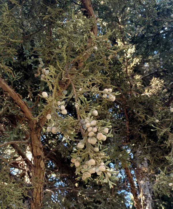 A closeup of a juniper tree, with green needles & white berries.