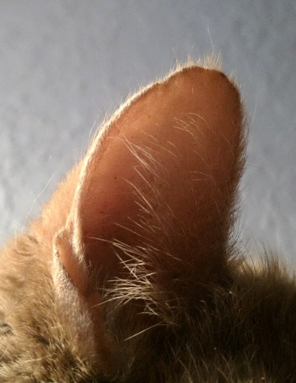 It's just Loiosh's ear. It's lit from the back & faintly pink inside.
