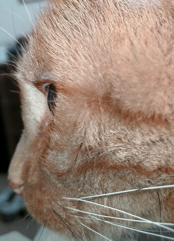 A closeup on Loiosh's face. He's looking off to the left. He's got orange stripes coming from the corner of his eye, & white & black whiskers.