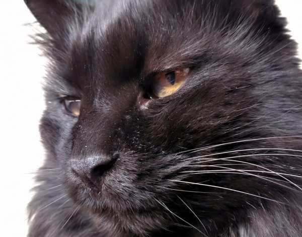 Hades, facing to the left. His stripes, slightly darker than the rest of him, are visible on his forehead.