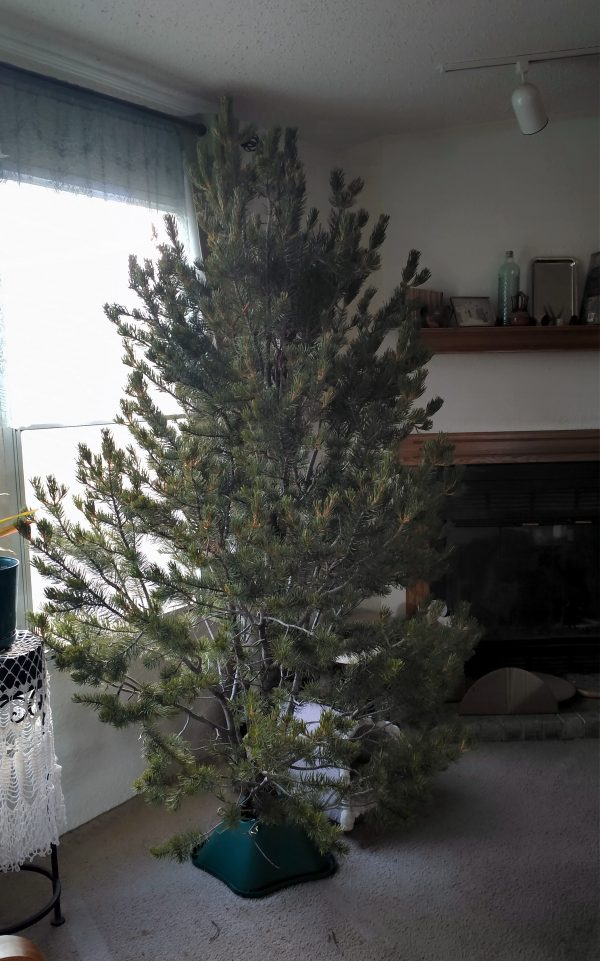 It's about six feet tall, kinda sparse, & definitely a Charlie Brown tree, but it's MINE.