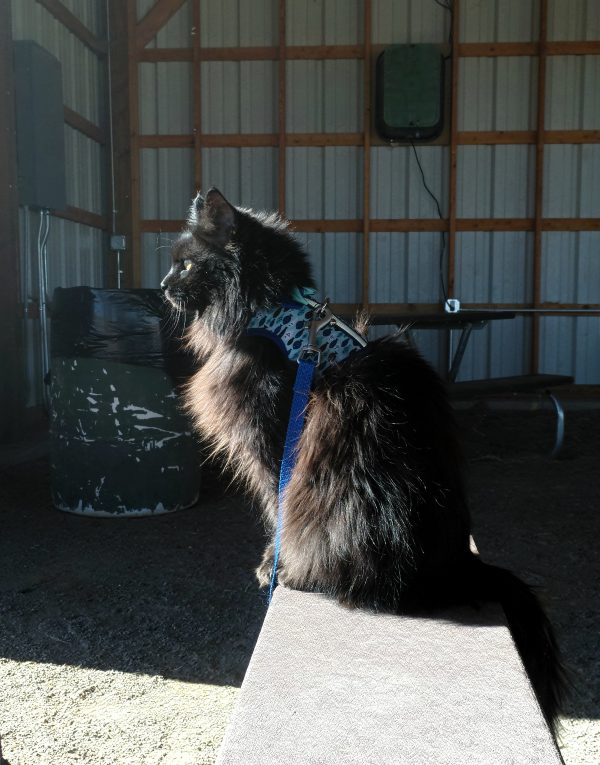 Hades in profile, sitting & gazing off to the left. The sun shines on his fur. He's wearing a light blue vest harness with little dark blue fish on it. It goes well with his blue leash.