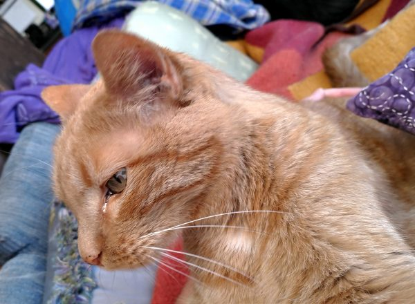 Loiosh, an orange tabby, sitting on my lap, with a lazily pleased look on his whiskers.
