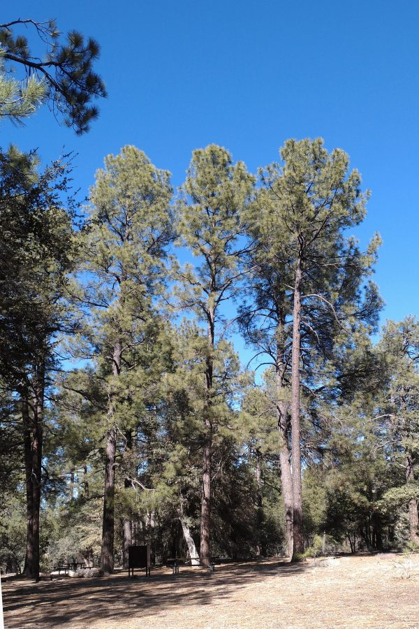 Three tall conifers (Ponderosa pines?) stand out from a host of smaller trees, all against an amazing blue sky.