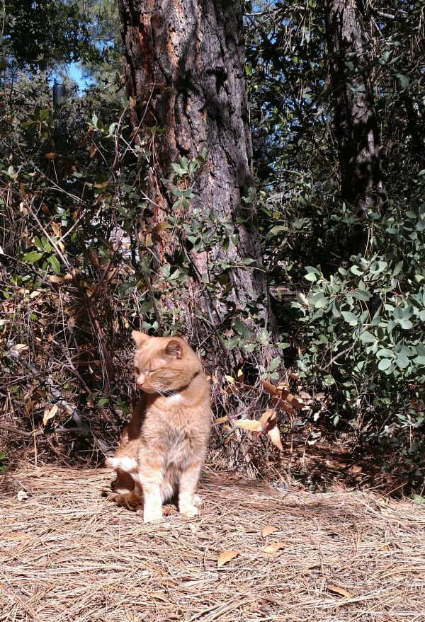 Loiosh is sitting in the sun at the base of a tree, tail neatly curled, head turned to the side, eyes firmly closed.
