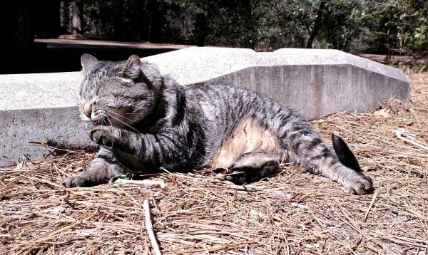 Major Tom is laying on pine-needle-covered ground in the sun, washing his left forepaw.