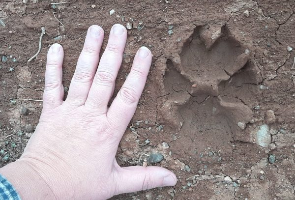 A VERY large pawprint, left in mud, with my hand splayed on the ground next to it.