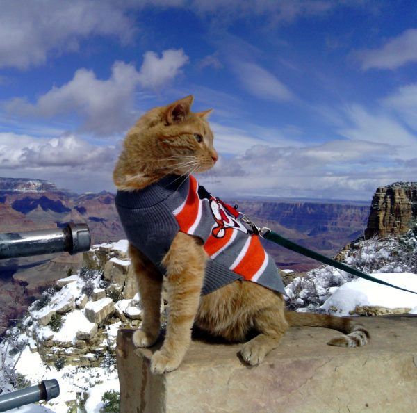 Loiosh, wearing a grey & orange striped Tigger sweater, sits on a rock wall, looking back over his shoulder. Behind him is the Grand Canyon.