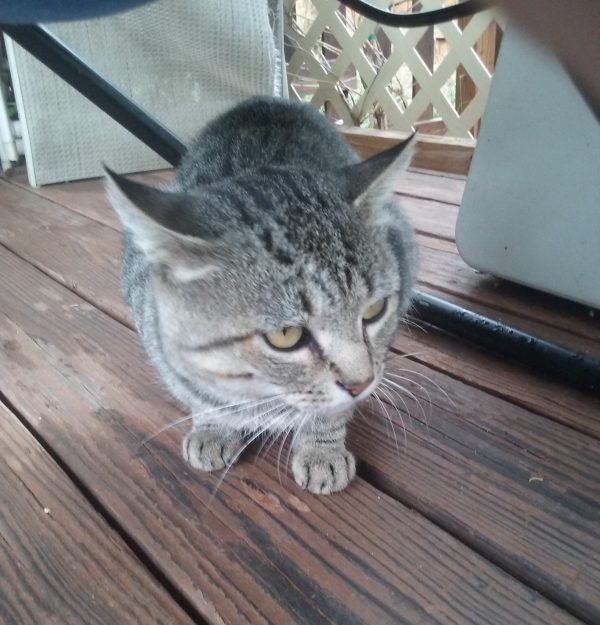 A skinny gray tabby, hunkered under a deck chair, ears stuck out at various angles, eyes wide & wary.