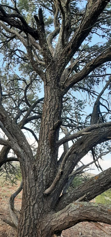Grandmother pinyon, from maybe five feet away. Her trunk is a foot & a half across at the bottom, & her branches spread & rise to the skies.  The photo was taken from under her canopy & most of her foliage isn't even in the shot, though there's a bit showing behind her branches.