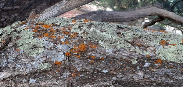 A horizontal branch about a foot thick holds clusters of lichens -- grey, pale green, & small spots of dark orange.