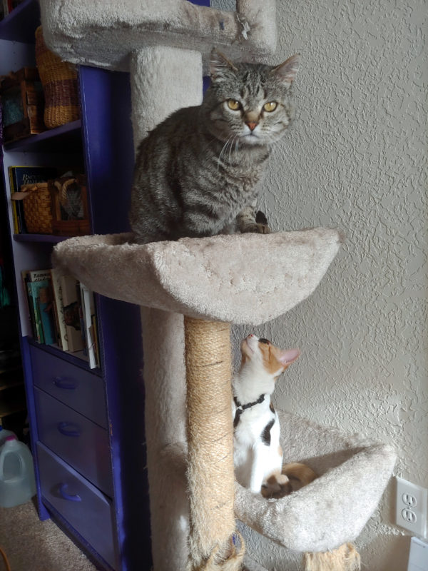 Tom's in the eye-level bed on the cat tree, looking right into the camera like he's on The Office. Zoey's on the level below, preparing for mayhem.