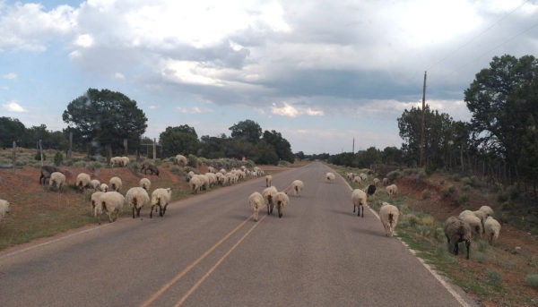 A typical two-lane New Mexico road, except it's got sheep & goats all over it.