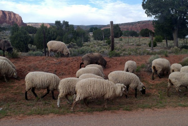 Sheep on the side of the road! Some of them have black faces as well as black legs. That brown one's in the middle.