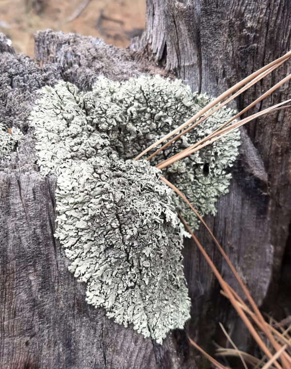 A patch of shaggy grey-green lichen on an old weathered tree stump.
