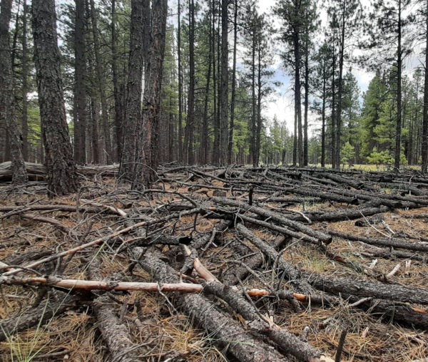 A patch of woods. The ground is covered in a tangle of cut trees laying every-which-way.
