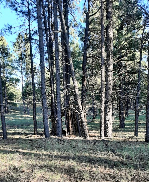 A grove of ponderosa pines -- but what's this? Several of them stand fairly close together, & something appears to have been built between them.