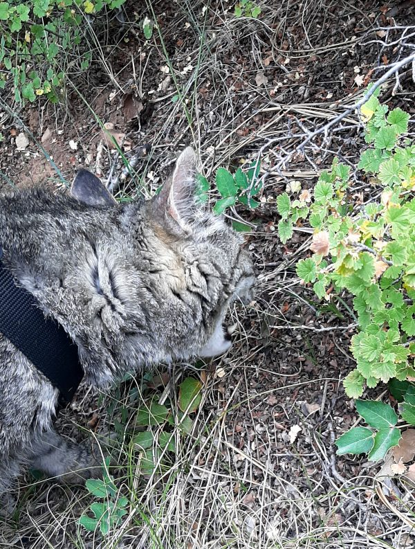 Major Tom, a big grey tabby, leaning down to eat some grass. His mouth is wide open & he looks Very Fierce.
