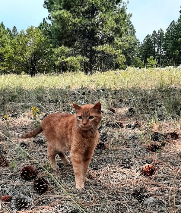 Loiosh, an orange tabby, stands facing the camera in a pine cone-dotted mountain meadow. His tail is a-twitch.