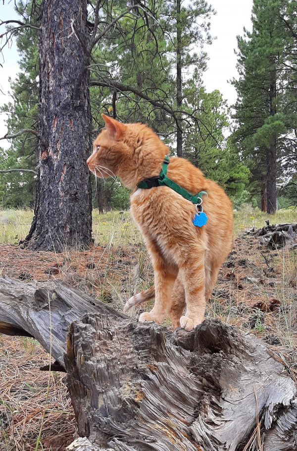 Loiosh in profile, with ponderosa pines towering behind him. He's standing on a fallen tree.