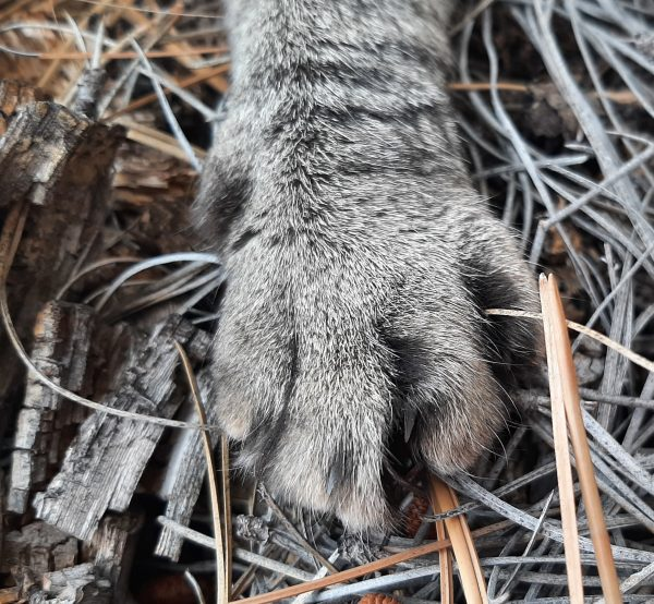 A close view of one of Tom's forepaws, on a bed of pine needles.