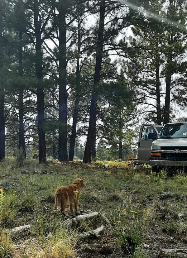 Loiosh in the distance. He stands facing away, towards the van, which is behind him; beyond the van, ponderosa pines stretch tall.