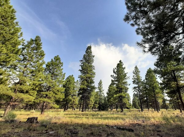 A slightly fish-eyed view of a meadow surrounded by tall ponderosa pines, with blue sky above.