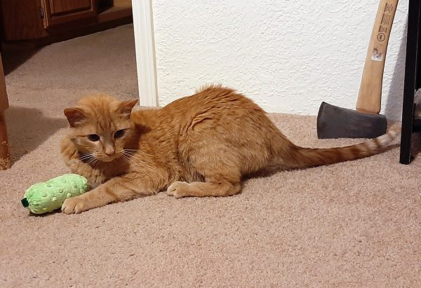 Loiosh, an orange tabby, is crouched on the floor, looking like he's ready to bolt. Between his paws is a catnip pickle.
