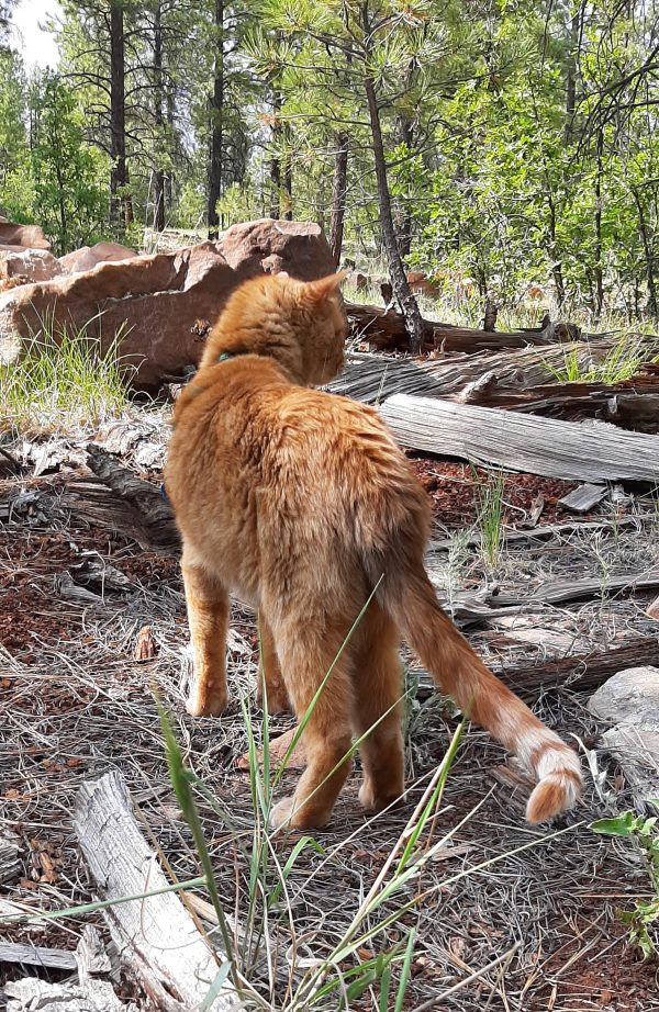 He's standing on ground covered in pine needles, facing away from me; beyond him, a pile of rocks & old tree trunks. His fur is bright in the sunlight.