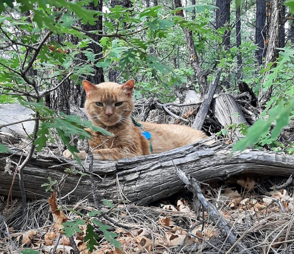 A photo taken through low-growing oak trees. Loiosh is laying at his ease, in a nook within a tangled pile of fallen branches. He's giving me a cranky look; I think I woke him up.