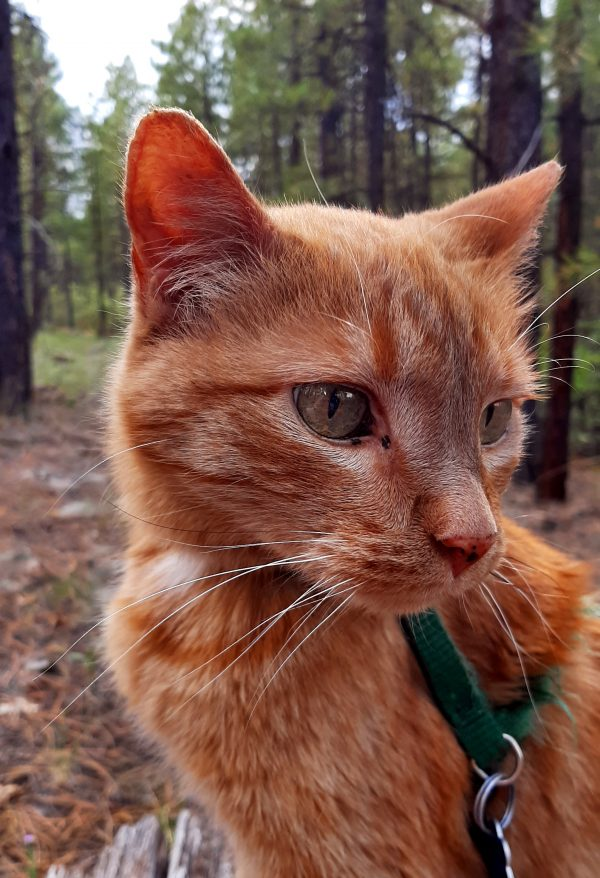 A nice close portrait shot. Loiosh is sitting with his body facing left, but his head turned so he's looking just to the right of the camera. His fur really is a brilliant orange when the light hits him right.