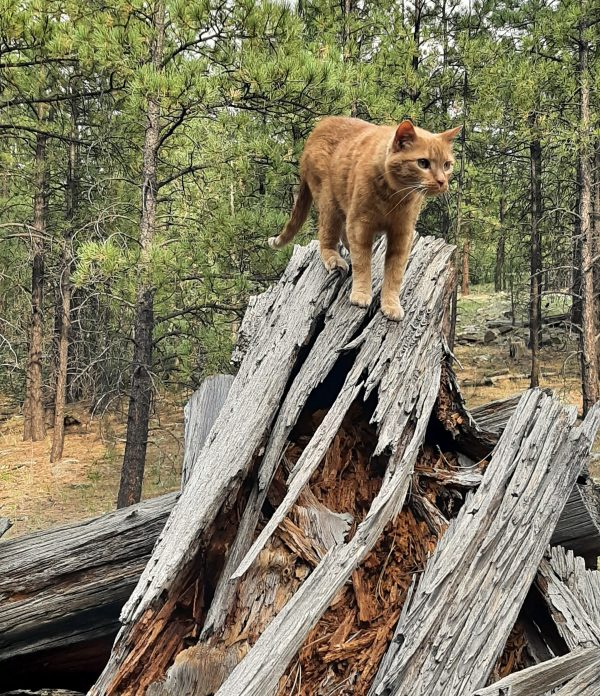And now he stands on the tallest log!