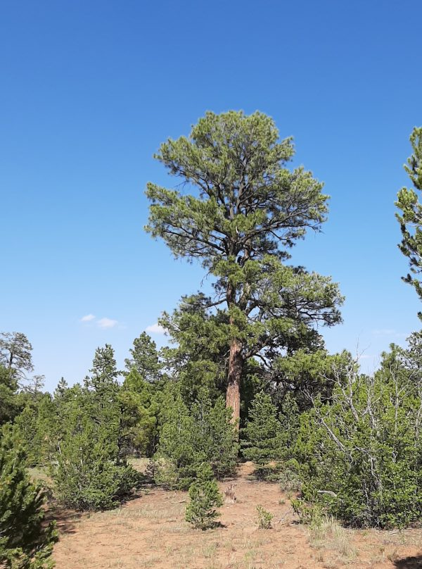 A tall ponderosa dominates the photo, with shorter trees behind it & a deep blue sky above.